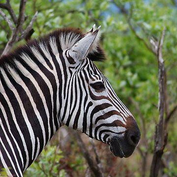 Zebra starring by bwbpro