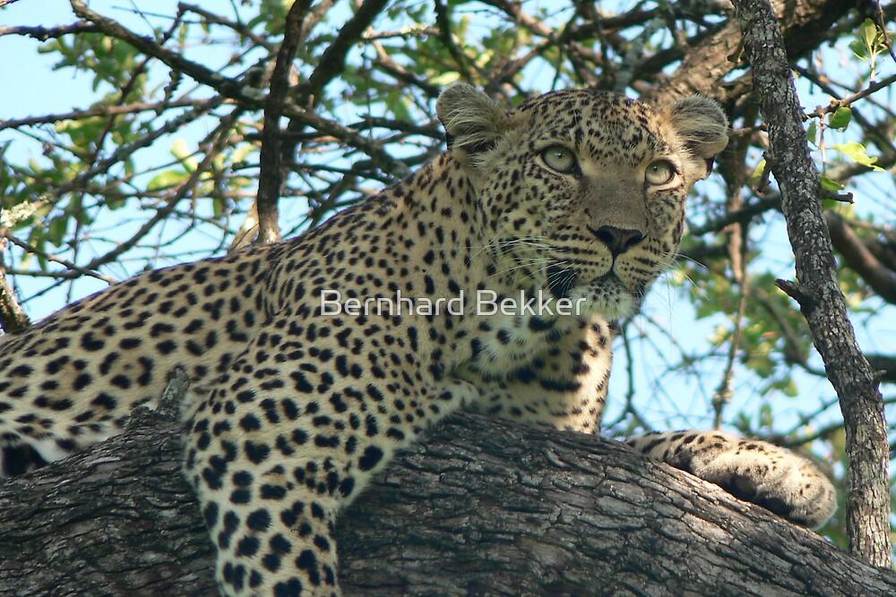 Leopard on the prowl by Bernhard Bekker