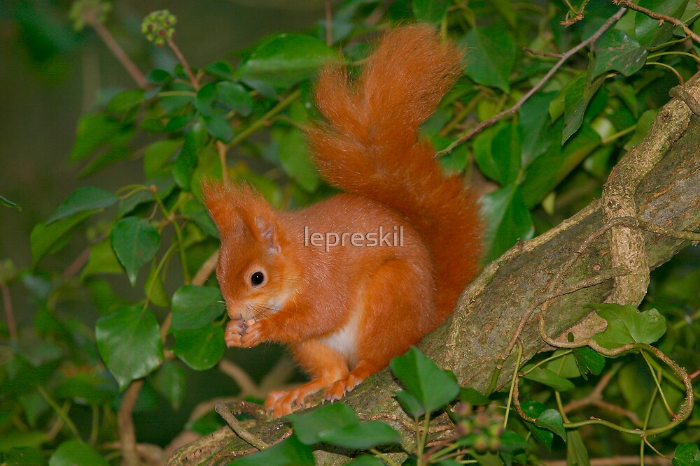 Red squirrel among ivy by lepreskil