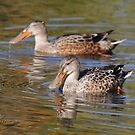 A Pair of Female Northern Shovelers by DigitallyStill