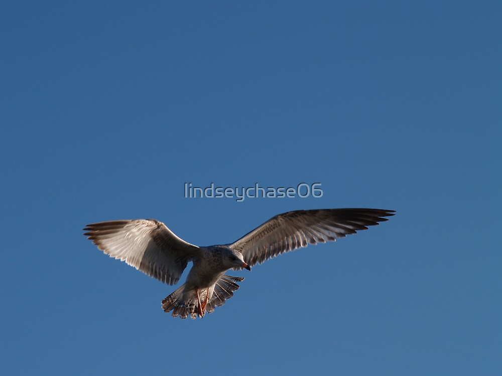 soaring seagull by lindseychase06