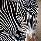 Zebra by Steve Hunter