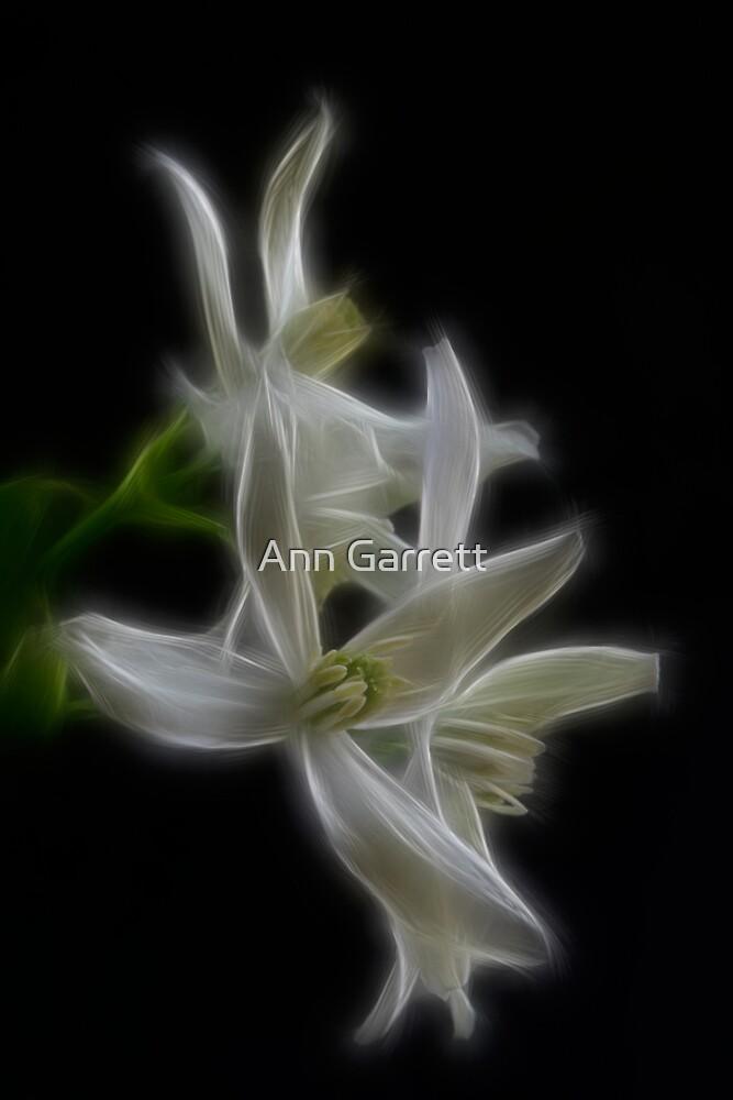 White Clematis by Ann Garrett