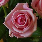 Mother's Day Rose by Gilberte