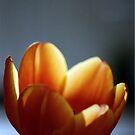 Tulip by Debja