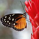 Black and Orange Butterfly on a Ginger Flower by Debja