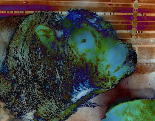 Posh Bull by leelee