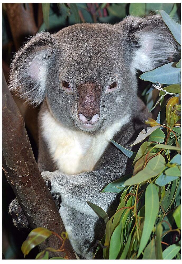 Koala by Beaner