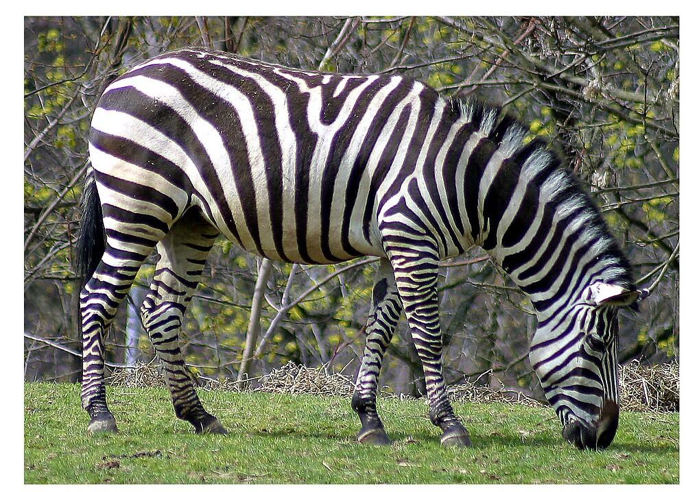 Zebra by Beaner