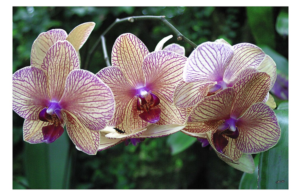 Lovely Orchids by Beaner