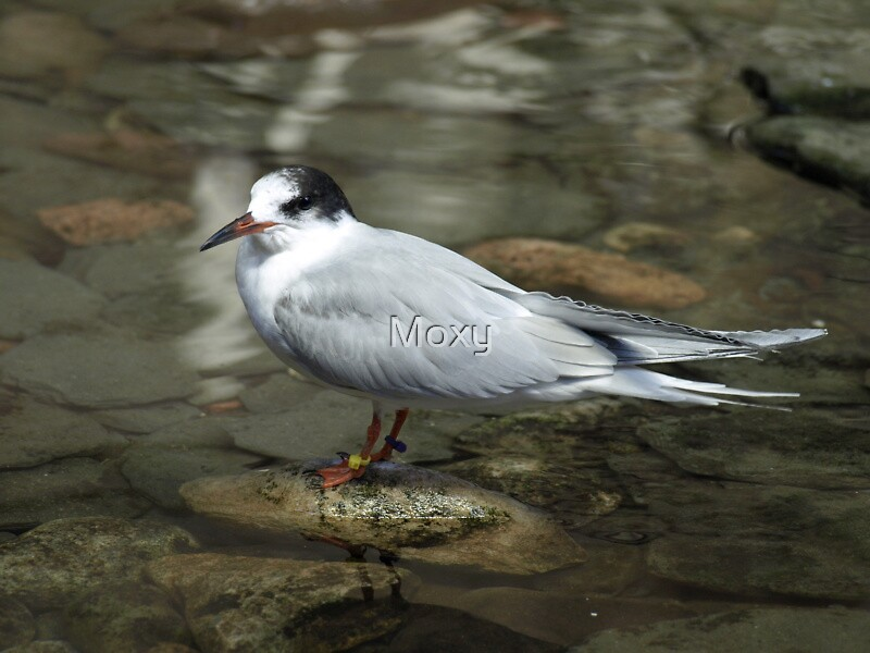 A common Tern in Winter Plumage by Moxy