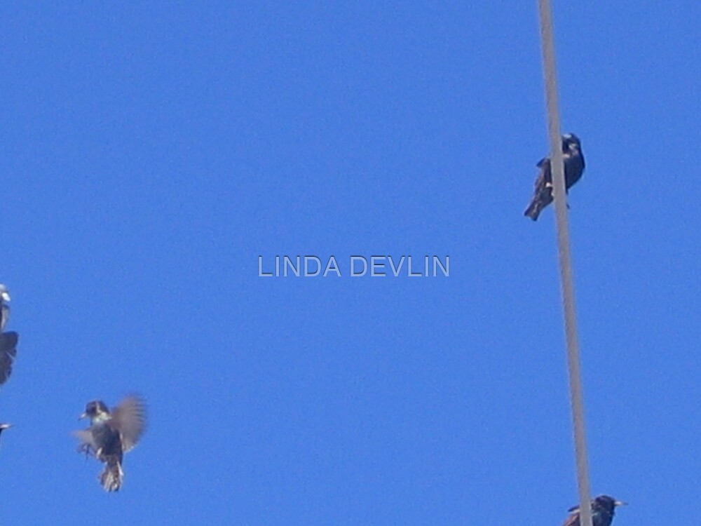 Landing.....on a wire!! by LINDA DEVLIN