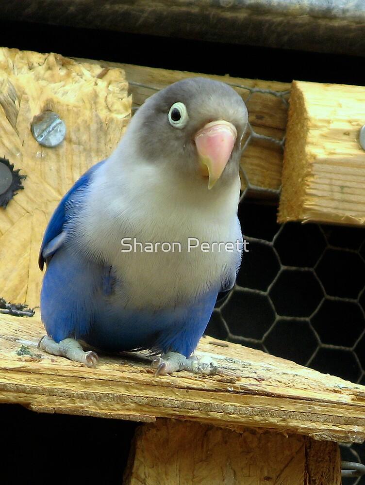 Bluebird by Sharon Perrett