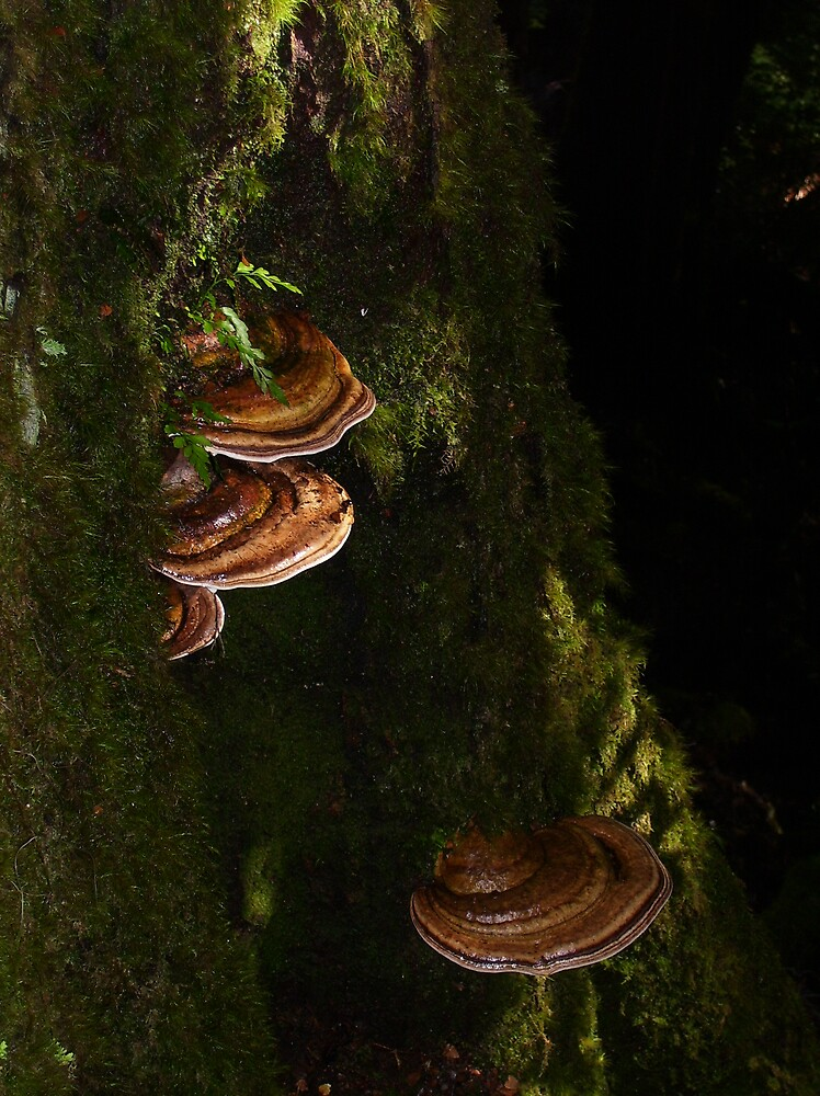 tree fungi - at Waratah (lots of these saucer-like protrusions in the rainforests here) by gaylene