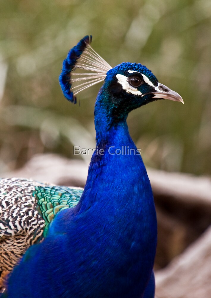A Peacock, called Andrew by Barrie Collins