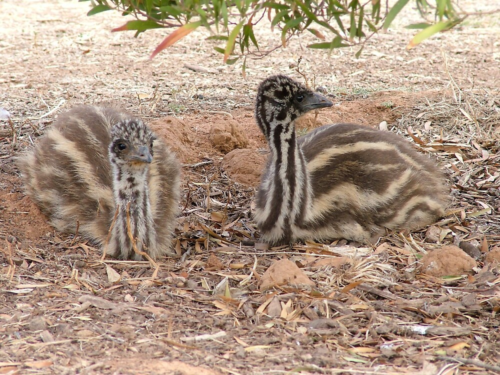 emu chicks by katejones