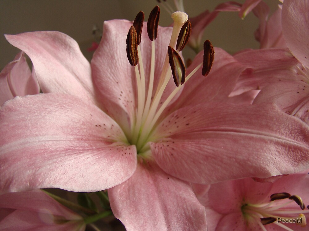 pale pink lily by PeaceM