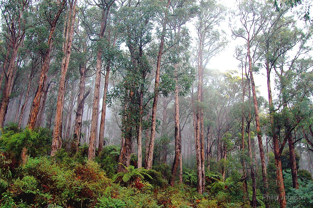 Soldiers In The Mist - Marysville , Yarra Ranges National Park Victoria Australia by Philip Johnson
