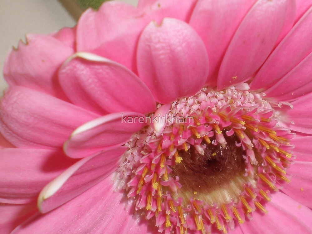 Pink gerbera macro 2 by karenkirkham