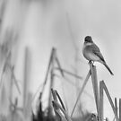 Eastern phoebe 2017 by Thomas Young