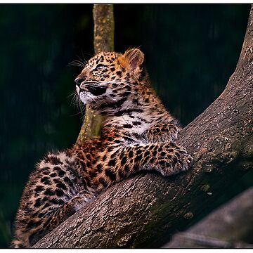 Amur leopard cub  by fljac
