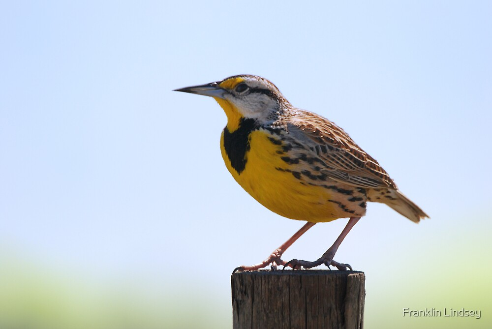 E.Meadowlarks Love to Sing by Franklin Lindsey