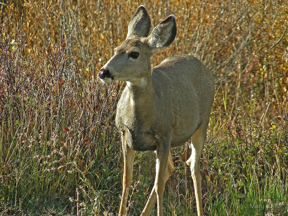 Mule Deer by Mary  Lane