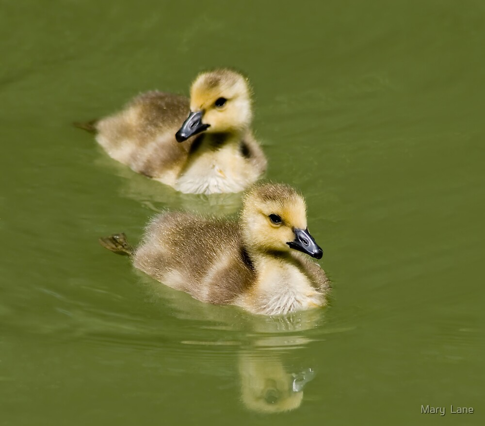 Two Goslings by Mary  Lane