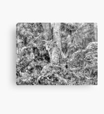 Eurasian Lynx (Wild Cat) in a winter snowstorm Canvas Print