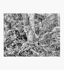Eurasian Lynx (Wild Cat) in a winter snowstorm Photographic Print