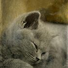 Sweet Little Grey Kitten by Alexandra Lavizzari