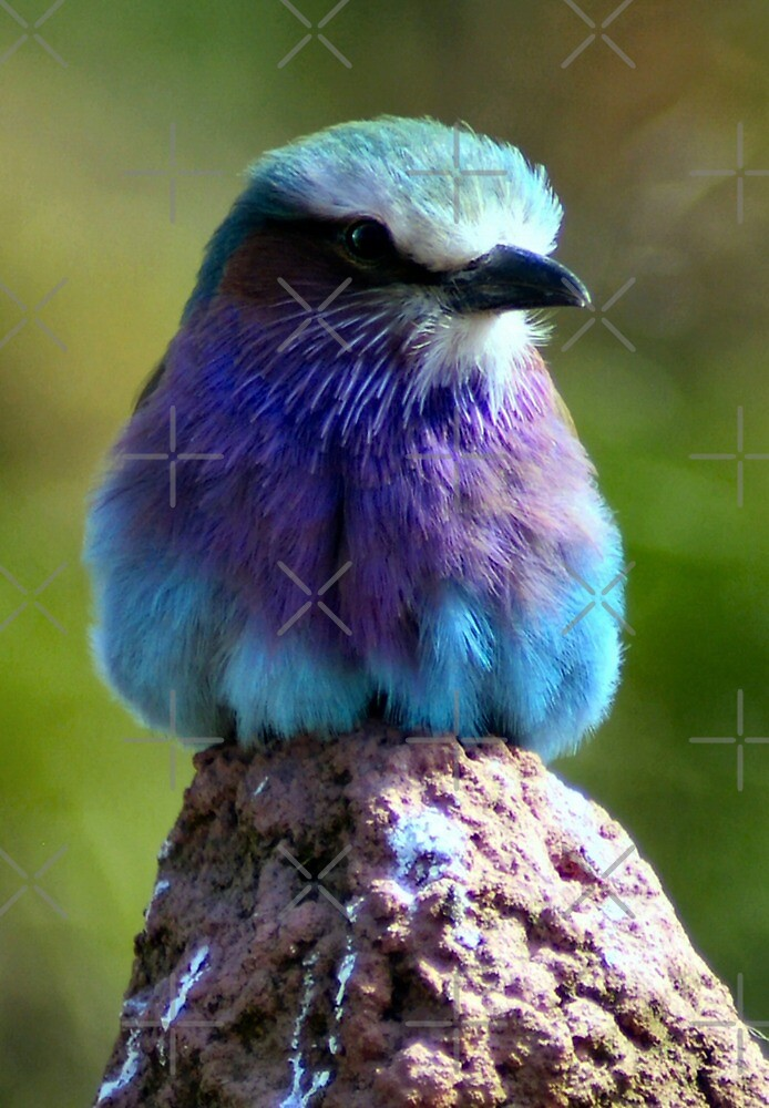 Pretty Little Bird too (Lilac Fronted Roller) by Yampimon