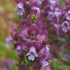Prostanthera magnifica by kalaryder