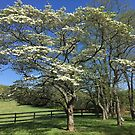 The Old Dogwood Tree by Bine