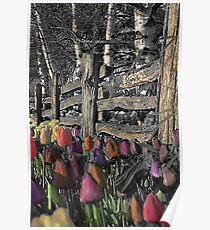 Skagit Tulips Poster