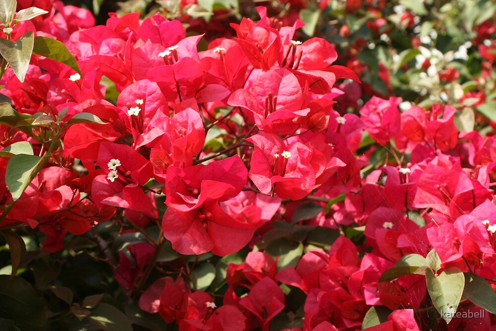 Wild Bouganvillia  by kateabell