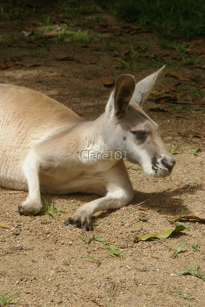 Resting Roo by Clare101