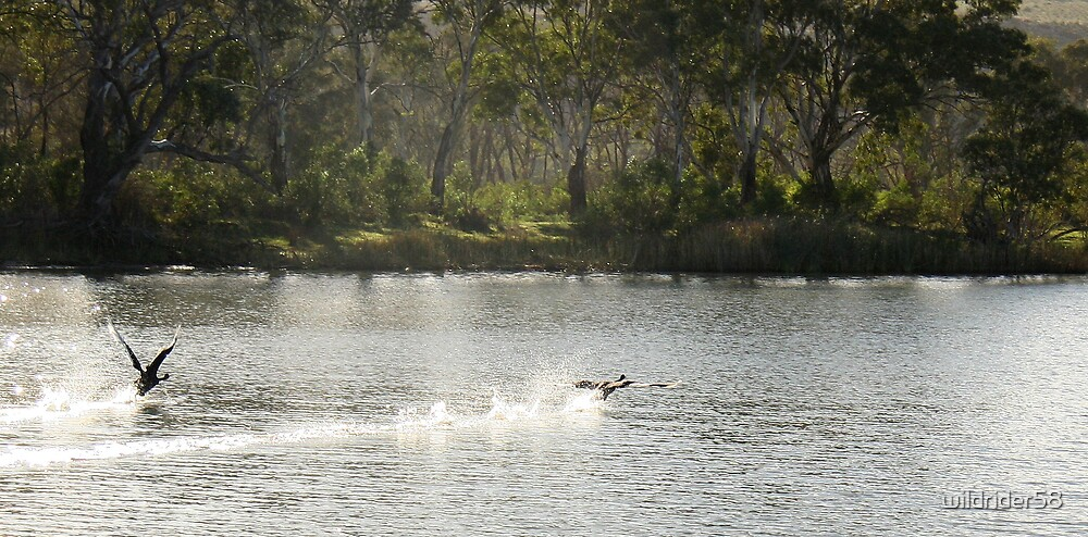 swans taking off by wildrider58
