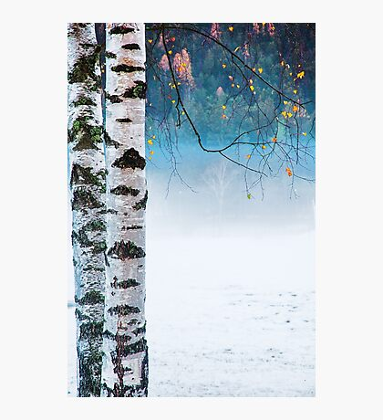 Birches in the mist Photographic Print