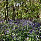 Bluebells Everdon Stubbs Wood by Avril Harris