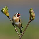 European Goldfinch by M S Photography/Art