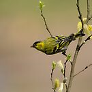 Siskin on pussy willow by M S Photography/Art