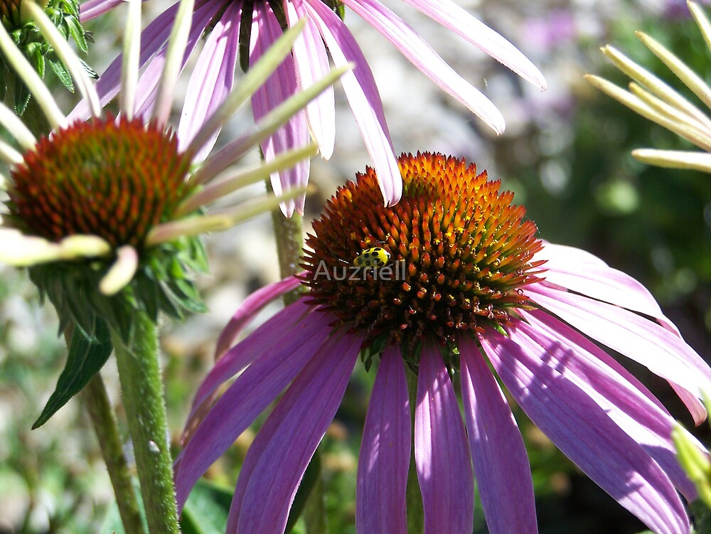 Cone Flowers by Auzriell