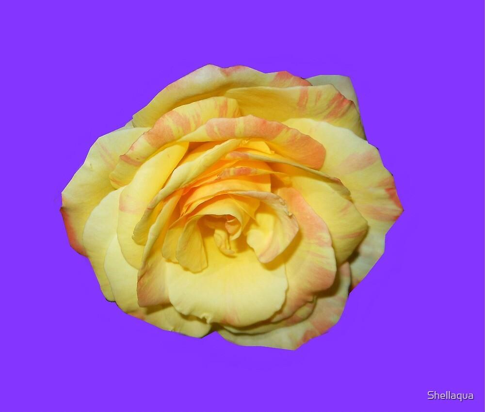 yellow rose, purple background 04/25/17 by Shellaqua