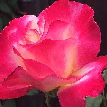 Grandma's Beautiful Rose Untouched by charmarose