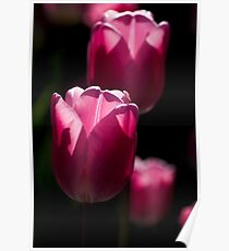 Sunlit Pink Tulips  Poster
