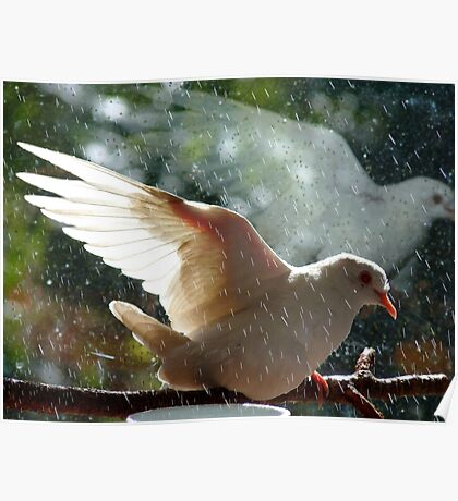 Have You Ever Seen The Rain - White Dove - NZ Poster