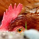 I Spy With My Little Red Eye... - Red Shaver Hen - NZ by AndreaEL