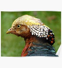 Bob Marley Look Alike! - Golden Pheasant - NZ ** Poster