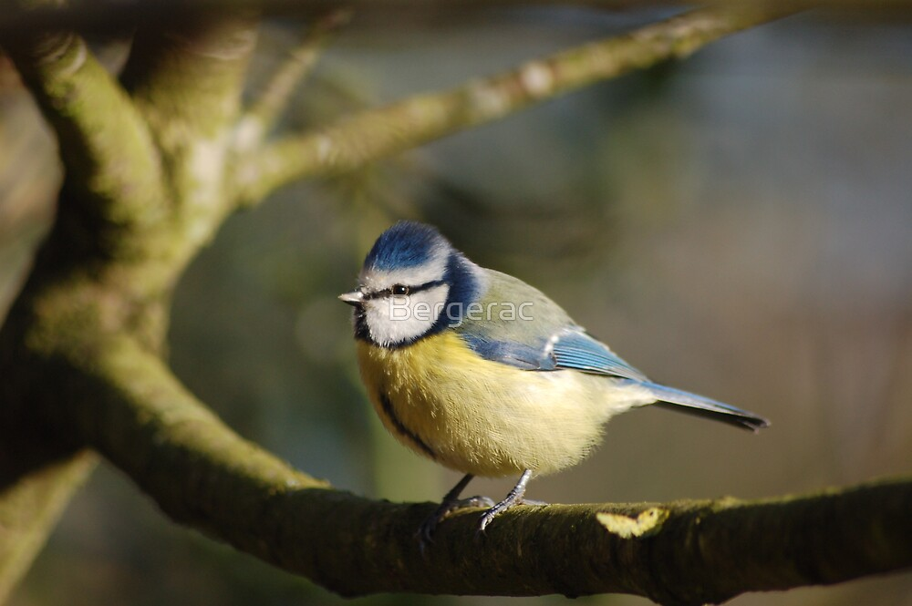 Blue Tit by Bergerac